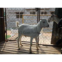 Goat Farm Training For Beginners to Start A Successful